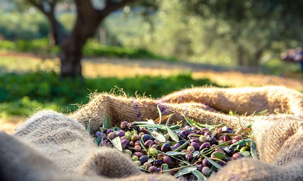 Romamirabilia Olivenernte
